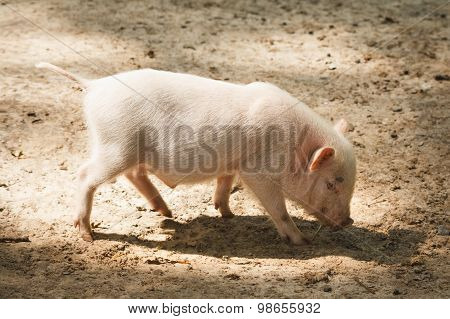 Young Pink Piggy