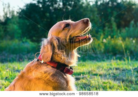 Golden Retriever Dog Portrait In Profile On Nature