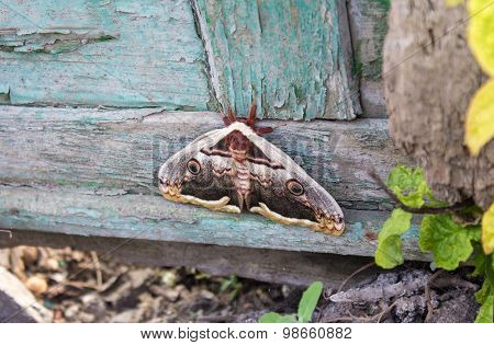Moth Sitting On Old Wooden Fence
