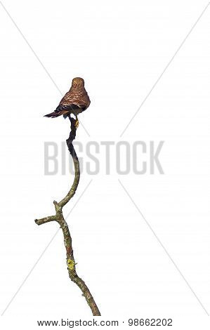 Common Kestrel (falco Tinnunculus) Seen From Behind, Sitting On A Wery Long Branch,on White
