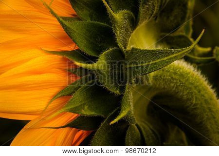 Back Angle Of Sunflower