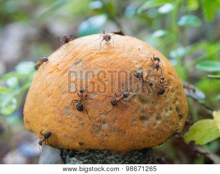 Ants On Mushroom