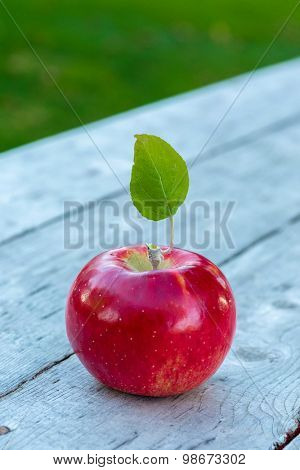 A red ripe Honeycrisp apple fresh from the farm.