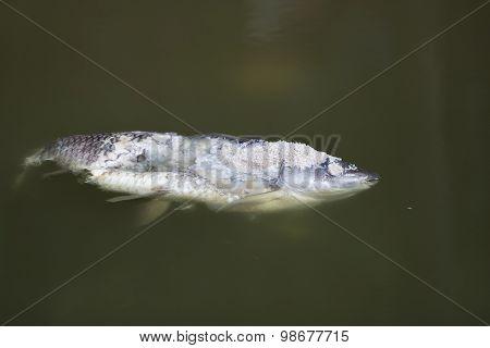 Dead rotten fish