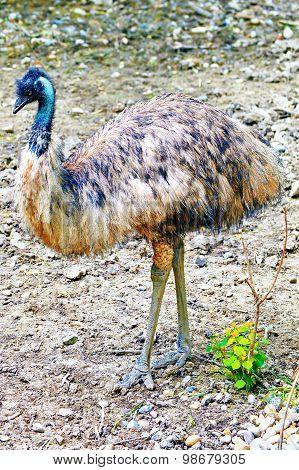 Ostrich Emu.