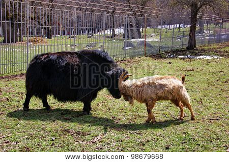 black yak and wild goat tour
