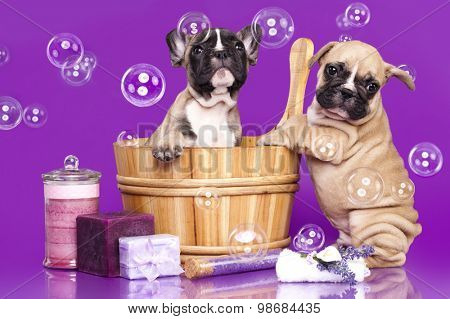 French bulldog puppies in wooden wash basin with soap bubble