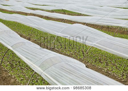 Vegetable garden, field of new green plant