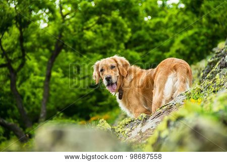 Golden Retriever Dog on a Rocky Cliff With a Green Forest Background
