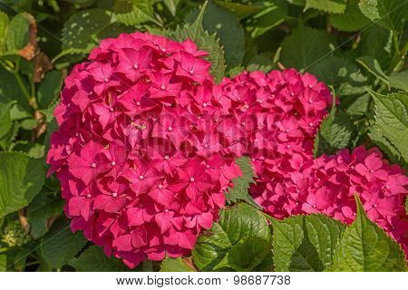 Beautiful hydrangeas in the garden