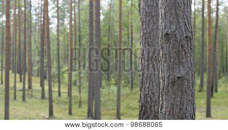 pine forest in warm summer day