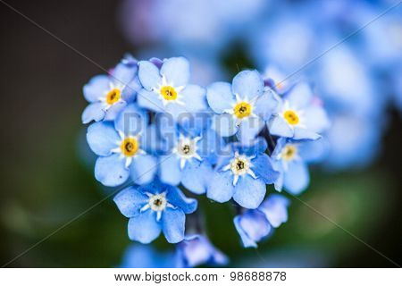 Blooming Forget-me-not Flowers