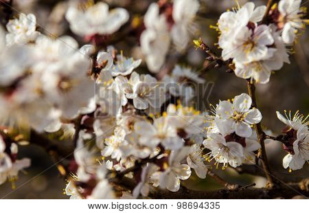 White Flowers Of The Apricot Tree