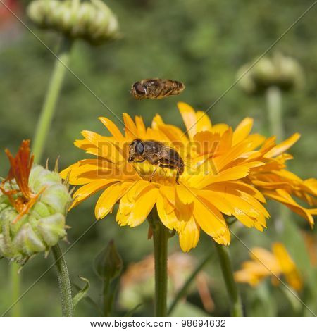 Hoverfly On Orange Pot Marigold In Sunny Garden With Other Fly Hovering Above