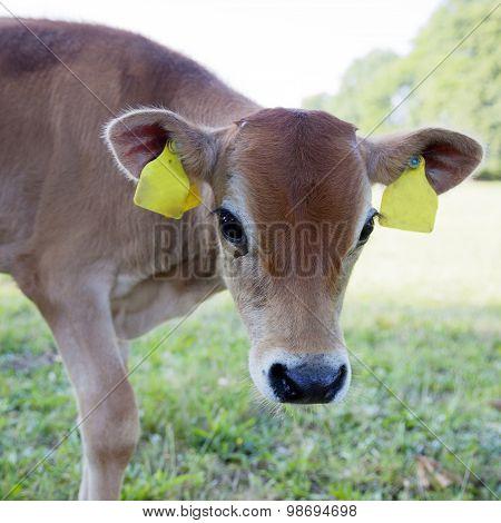 Brown Calf In Meadow Looks With Big Eyes