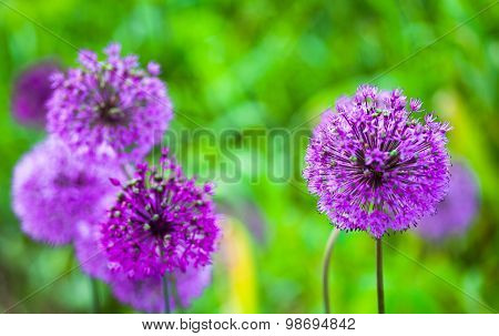 Blooming Purple Ornamental Onion (allium)