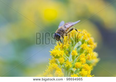 Fly Mimics Bee On Yellow Flower