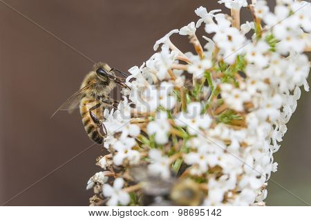 Bee On White Flower Of Buddleja Davidii White Profusion