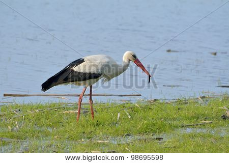 White Stork In Green Grass