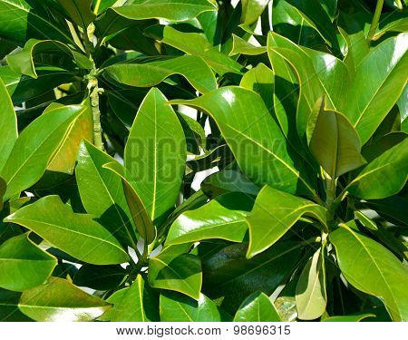 branches of laurel