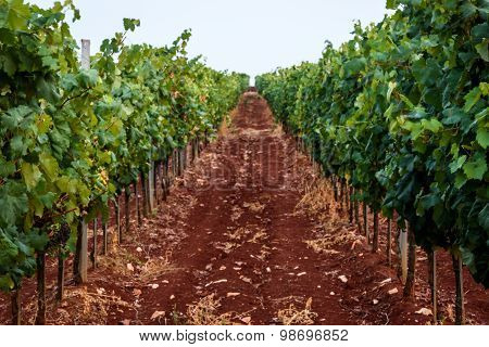 Vineyard Of Isabella Grapes In Istria