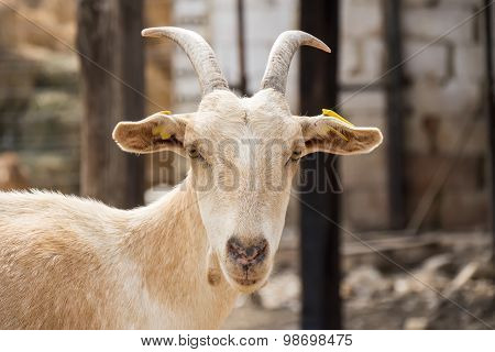 Brown Goat In The Farm