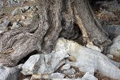 stock photo of olive trees  - The gnarled trunk and roots of the ancient olive tree - JPG