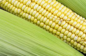 foto of corn cob close-up  - Fresh picked yellow corn cobs close up - JPG