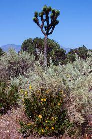 stock photo of juniper-tree  - Wild sagebrush - JPG