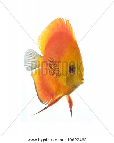 Discus - King Of The Aquarium
