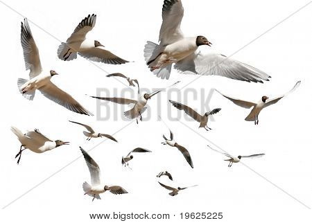 gulls isolated on white