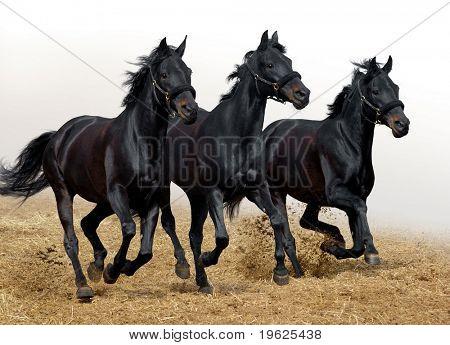 Schwarzer Pferden
