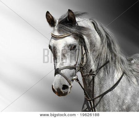 dapple-grey horse (arab)