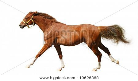 sorrel foal gallops - isolated on white