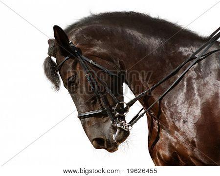 caballo de doma, negro - aislado en blanco