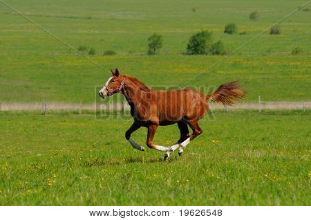 Sorrel horse gallops in field
