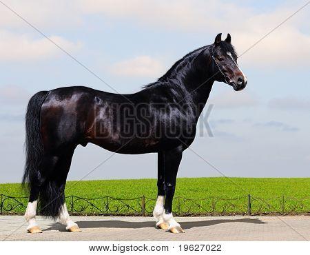 black trakehner stallion - horse form