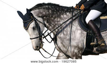 dapple-grey horse - isolated on white