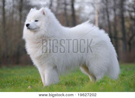 perro Samoyedo - campeón juvenil de Rusia