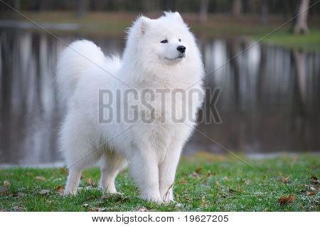 Samoyed Hund - Juvenile Champion Russland
