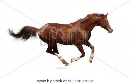 Brown trakehner stallion isolated on white