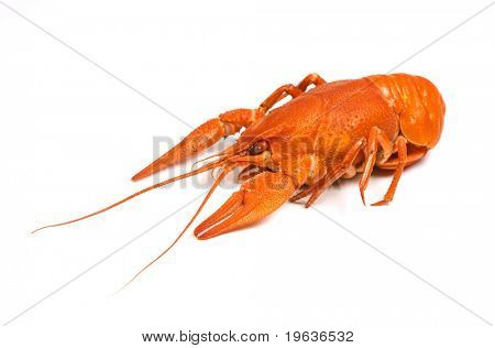 isolated crayfish #1