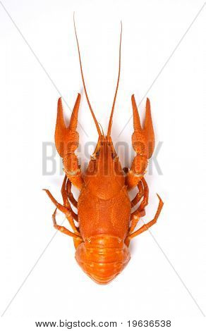 isolated crayfish #2