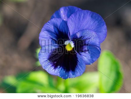blue flower (pansy)