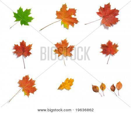 Full-size composite photo of various autumn leaves with light shadow on white background. Leaf of tree: maple, oak, apple