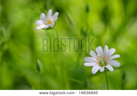 White flowers on green grass background. Focus on nearest flower.