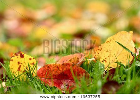 Apple autumn leaves background. Shallow focus depth on front leaves