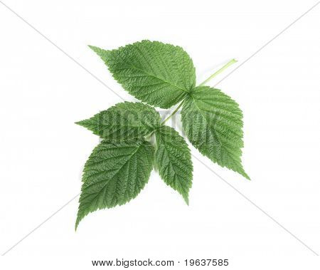 Raspberry leaf on white background with light shadow