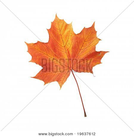 Maple autumn leaf on white background. Clipping path is included