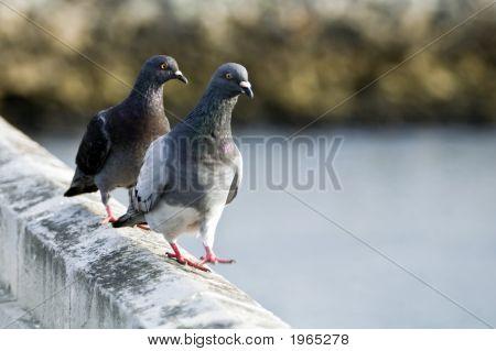 Two Pigeons Walking
